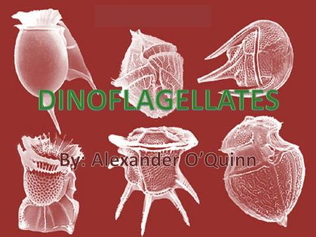 What are Dinoflagellates? Protists A type of Algae A major component of marine food chains 90% of dinoflagellates are aquatic Microscopic, largest are.