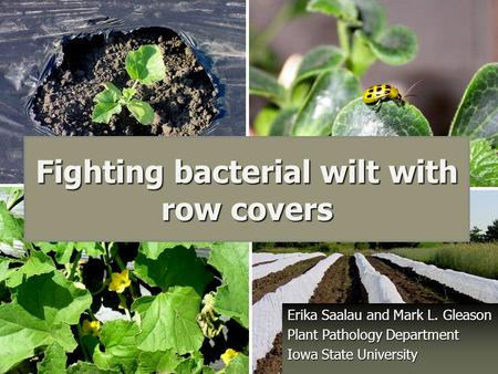 Fighting bacterial wilt with row covers Erika Saalau and Mark L. Gleason Plant Pathology Department Iowa State University.