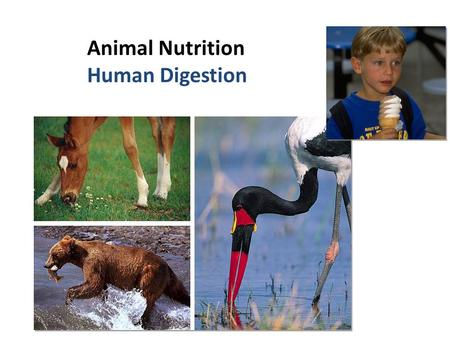 Animal Nutrition Human Digestion What do animals need to live? Animals make energy using: – food – oxygen Animals build bodies using: – food for raw.