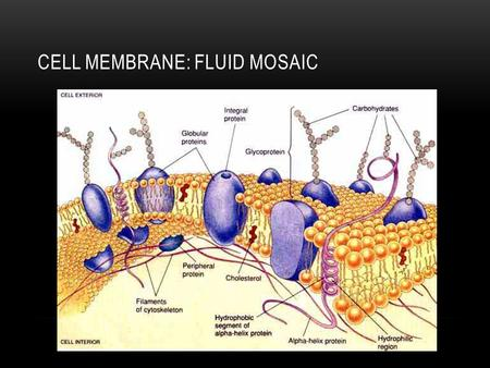 CELL MEMBRANE: FLUID MOSAIC. CELL/ PLASMA MEMBRANE Separates the inside of the cell from its environment Receives messages from outside Allows things.