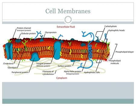 Cell Membranes. PLO's B9 - analyse the structure and function of the cell membrane  Identify molecules in the membrane and how they contribute the characteristics.