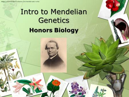 Intro to Mendelian Genetics Honors Biology https://conradchrabol.wordpress.com/mendels-early-works/