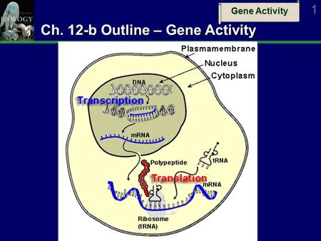 Gene Activity 1 Ch. 12-b Outline – Gene Activity.