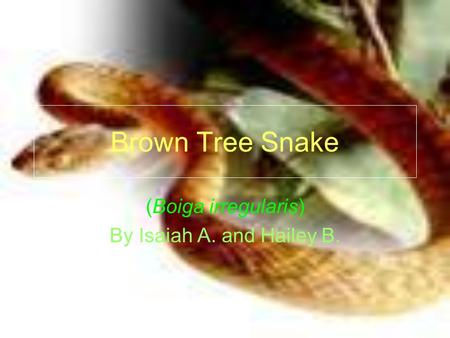 Brown Tree Snake (Boiga irregularis) By Isaiah A. and Hailey B.