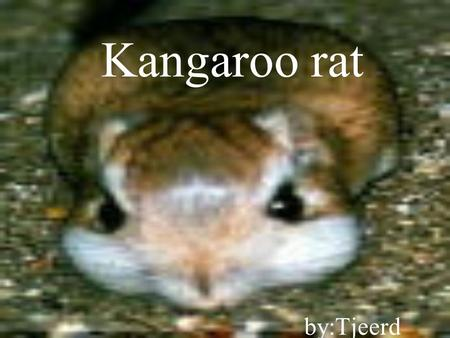 Kangaroo rat by:Tjeerd Facts  Tail is always bigger than body  tail acts as balance when hopping  solitary by nature  belligerent; often fight by.