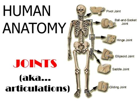 HUMAN ANATOMY JOINTS (aka… articulations).