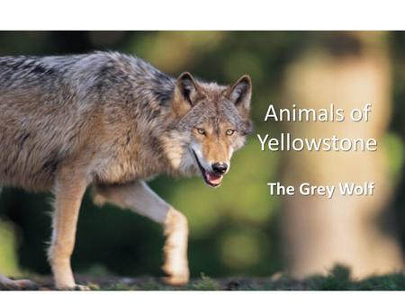 Animals of Yellowstone The Grey Wolf. Animal Classifications ClassificationGrey Wolf Domain Eukara Kingdom Animalia Phylum Chordata Class Mammalia Order.