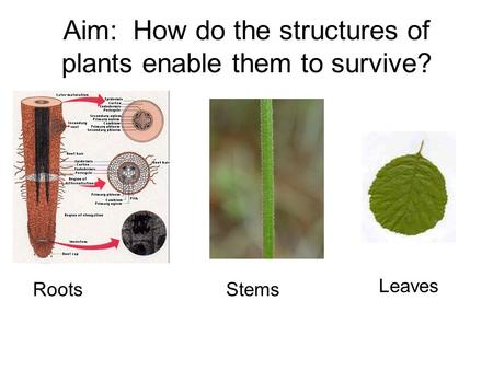 Aim: How do the structures of plants enable them to survive? RootsStems Leaves.