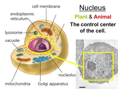 Nucleus Plant & Animal The control center of the cell.