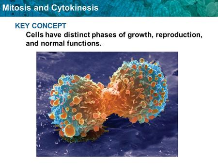 Mitosis and Cytokinesis KEY CONCEPT Cells have distinct phases of growth, reproduction, and normal functions.