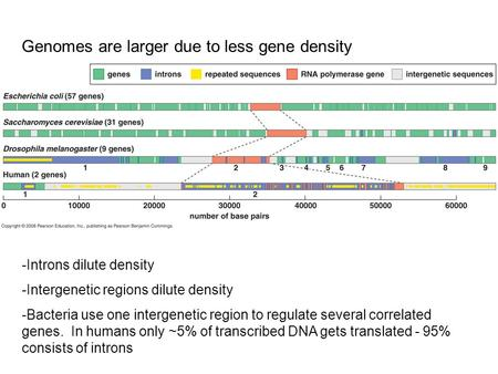 Genomes are larger due to less gene density -Introns dilute density -Intergenetic regions dilute density -Bacteria use one intergenetic region to regulate.