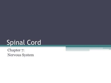 Spinal Cord Chapter 7: Nervous System. Spinal Cord Approximately 17 inches long, pathway for both afferent and efferent impulses. ▫About the size of a.