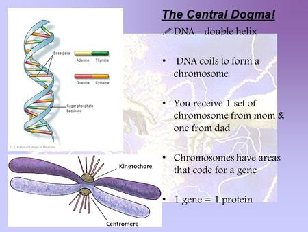  DNA – double helix DNA coils to form a chromosome You receive 1 set of chromosome from mom & one from dad Chromosomes have areas that code for a gene.