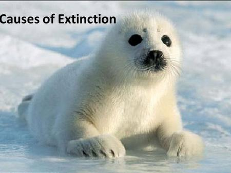 Causes of Extinction. Non-human causes of extinction: Volcanic events Ocean temperature change Sea level changes Meteorites Glaciations Global climate.
