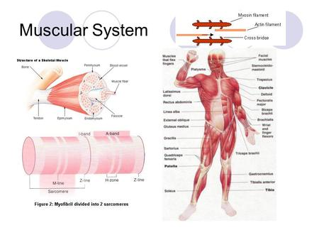 Muscular System. How Muscles Move-  Muscle knows no direction, it just shortens.  So when a muscle contracts one end of the joint moves toward the other.