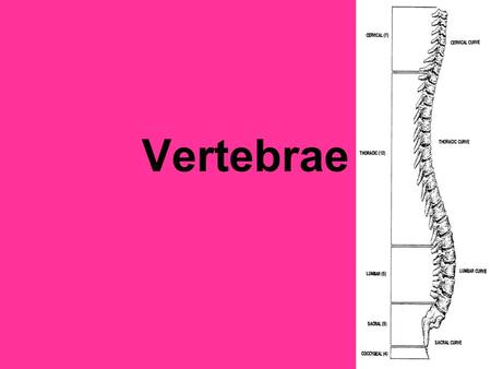 Vertebrae. Vertebral column Extends from skull to pelvis Consists of many vertebrae separated by cartilaginous intervertebral disks that are connected.