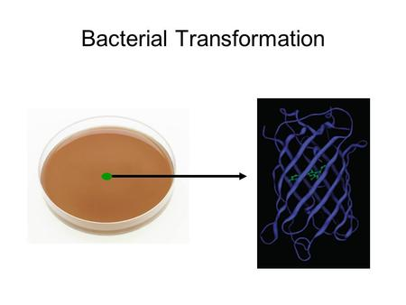 Bacterial Transformation. Uptake of foreign DNA, often a circular plasmid GFP Amp Resistance What is transformation?