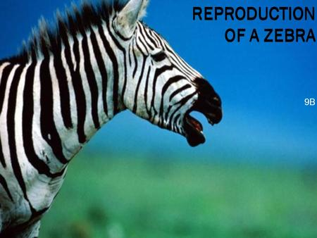 REPRODUCTION OF A ZEBRA 9B. Introduction  Zebras live in south eastern Africa  Their scientific name is equus Zebra  Main diet is grass, bark, leaves,