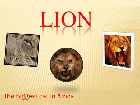 The biggest cat in Africa.  Description  Size  Diet  Enemies  Interesting Facts.