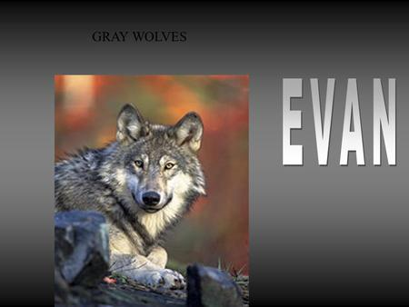 GRAY WOLVES My animal is called a Gray wolve. In the winter the Gray Wolf has white, a little bit of gold, and a black color. In the summer The Gray.