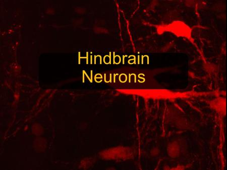 Hindbrain Neurons. Question: How will the alteration of input affect neurons in the CNS dedicated to inner ear sensory input processing? By manipulating.