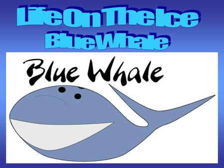 DESCRIPTION OF BLUE WHALE BLUE WHALE Balaenoptera musculus CLASS: MAMMALIA ORDER: CETACEA SUBORDER: MYSTICETI FAMILY: BALAENOPTERIDAE GENUS: BALAENOPTERA.