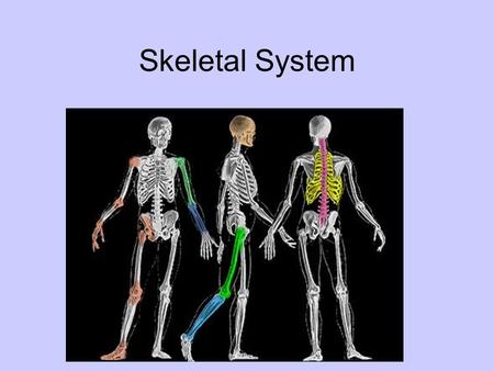 Skeletal System. General Info Adult human has 206 bones Does everyone have 206 Bones?