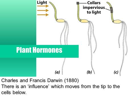 Charles and Francis Darwin (1880) There is an 'influence' which moves from the tip to the cells below. Plant Hormones.
