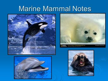 Marine Mammal Notes. Mammal Characteristics  Endotherms – warm blooded. Body temperature regulated internally.  Hair – to retain body heat  Viviparous.