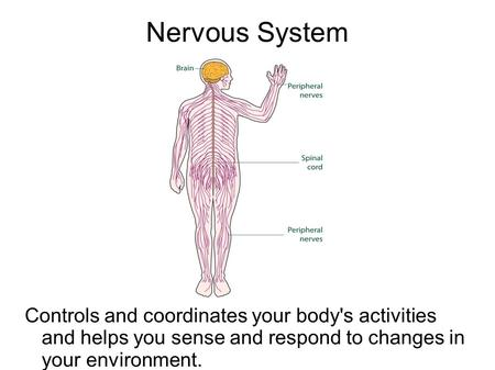 Nervous System Controls and coordinates your body's activities and helps you sense and respond to changes in your environment.