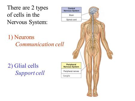 There are 2 types of cells in the Nervous System: 1) Neurons Communication cell 2) Glial cells Support cell Ganglia.