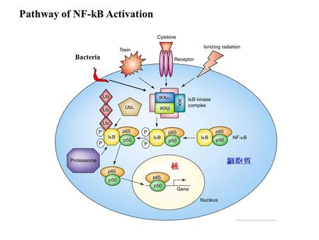 Pathway of NF-kB Activation 核 細胞質 Bacteria. Pathway of NF-kB Activation Cytokine such as TNF- , and environmental hazards such as inonizing radiation,