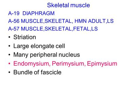 Skeletal muscle A-19 DIAPHRAGM A-56 MUSCLE,SKELETAL, HMN ADULT,LS A-57 MUSCLE,SKELETAL,FETAL,LS Striation Large elongate cell Many peripheral nucleus Endomysium,