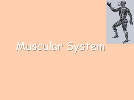 Muscular System. Functions of the Muscular System Move the body Regulate materials moving within the body – Size of blood vessels – Pyloric valve in the.