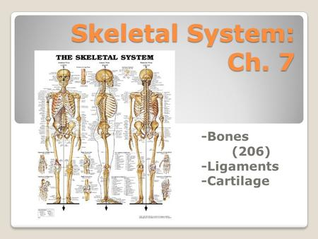Skeletal System: Ch. 7 -Bones (206) -Ligaments -Cartilage.