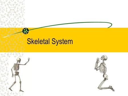 Skeletal System. Bones They support the body and give it shape They work with muscles to let you move Protect organs and produces blood cells Store –Phosphorus.