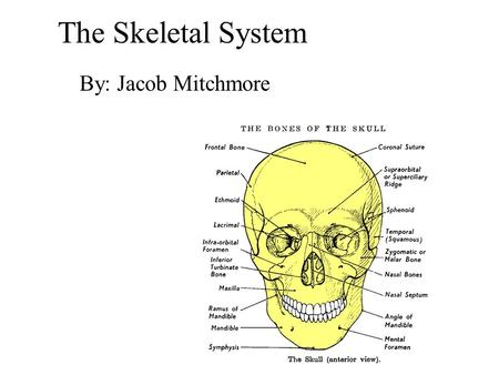 The Skeletal System By: Jacob Mitchmore. Bones You have 206 bones in your body. The skeletal system performs several functions.It protects soft areas.