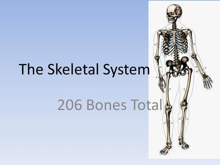 The Skeletal System 206 Bones Total. Functions Hold body up, give it shape Place for muscles to attach to help us move, breathe, and eat Act as levers.