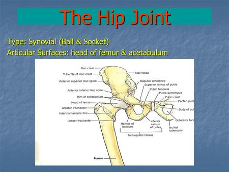 The Hip Joint Type: Synovial (Ball & Socket) Articular Surfaces: head of femur & acetabulum.