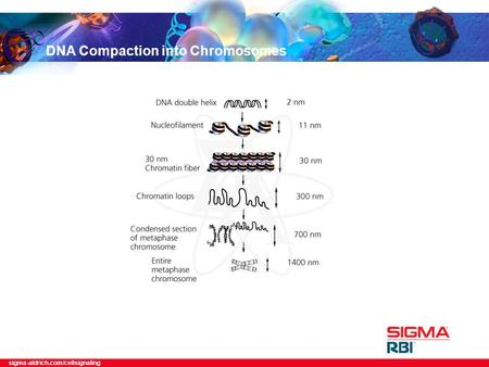 Sigma-aldrich.com/cellsignaling DNA Compaction into Chromosomes.