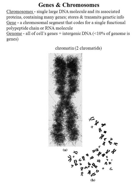 Genes & Chromosomes Chromosomes - single large DNA molecule and its associated proteins, containing many genes; stores & transmits genetic info Gene -