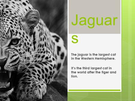 Jaguar s The jaguar is the largest cat in the Western Hemisphere. It's the third largest cat in the world after the tiger and lion.