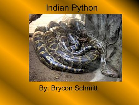 Indian Python By: Brycon Schmitt. General Information The Indian Python fits into the reptiles group This animals scientific name is Python Molurus. The.