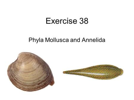 Exercise 38 Phyla Mollusca and Annelida. Mollusca.