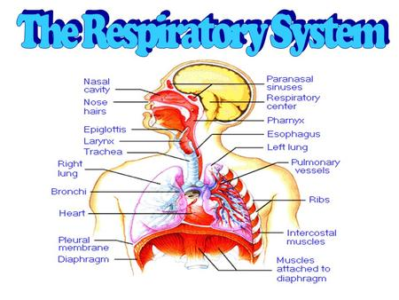 The Respiratory System: Is a body system that provides the body with Oxygen and Removes Carbon Dioxide.