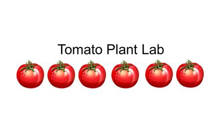 Tomato Plant Lab. Question: What caused tomato plant A to grow higher than tomato plant B and C? AB Objective: To determine what caused the tomato plant.