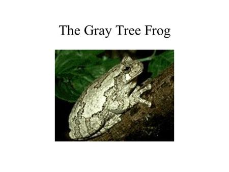 The Gray Tree Frog. Introduction This project is about the gray treefrog. We will be talking about its environment, habitat, what it looks like and defense.