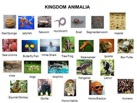 KINGDOM ANIMALIA roundworm flatworm Snail Segmented worm Sea Sponge