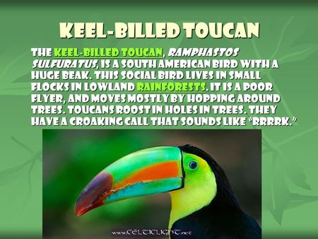 Keel-billed Toucan The keel-billed toucan, Ramphastos sulfuratus, is a South American bird with a huge beak. This social bird lives in small flocks in.