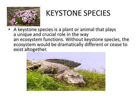 KEYSTONE SPECIES A keystone species is a plant or animal that plays a unique and crucial role in the way an ecosystem functions. Without keystone species,